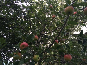 Close up of an apple tree in front of our house.